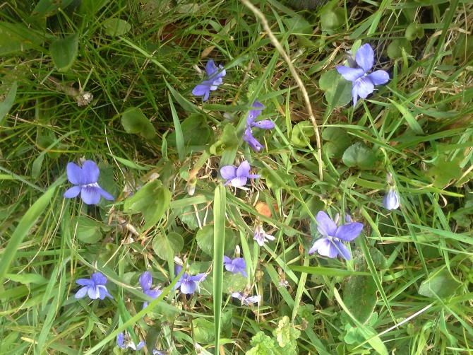 violeta (2)